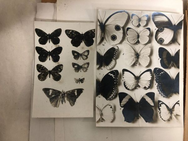 Black and white photographs of butterflies