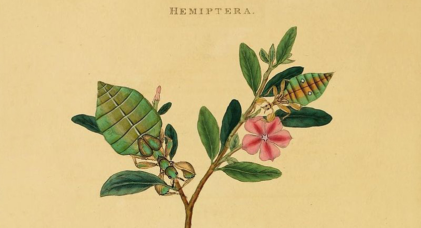 Mantis siccifolia' (detail) from Edward Donovan's 'An Epitome of the Natural History of the Insects of India' (1800)